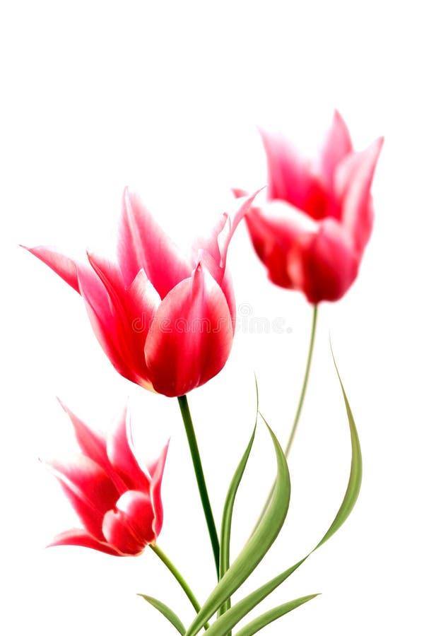 Drei rote Tulpen stockfoto