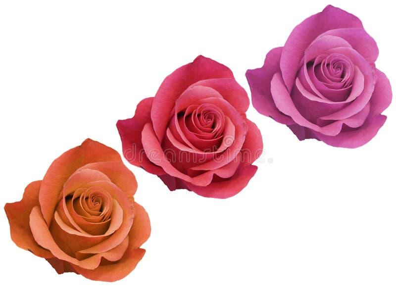 Drei rotes Orange und rosa Rose Flowerheads lokalisiert auf weißem Hintergrund Draufsicht, keine Schatten, tiefer Fokus lizenzfreies stockbild