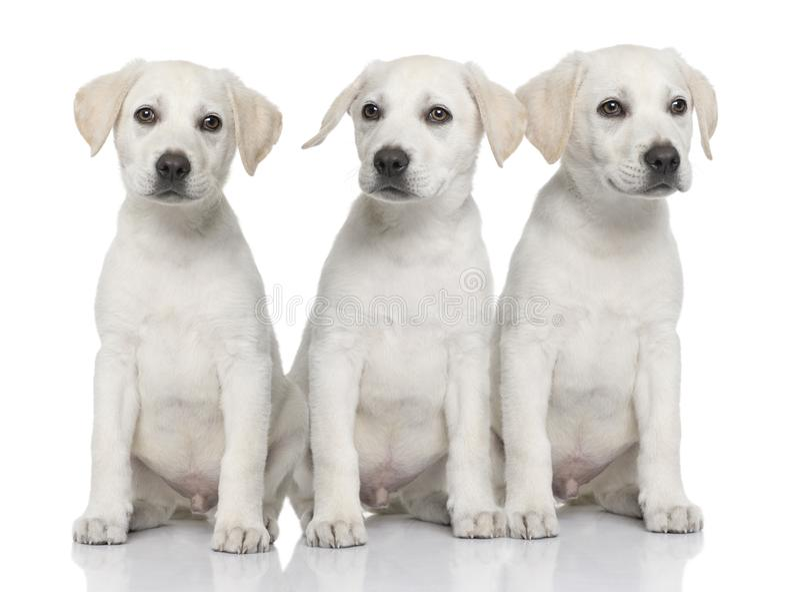 Drei Sahne-Labrador retriever-Welpen lizenzfreie stockbilder