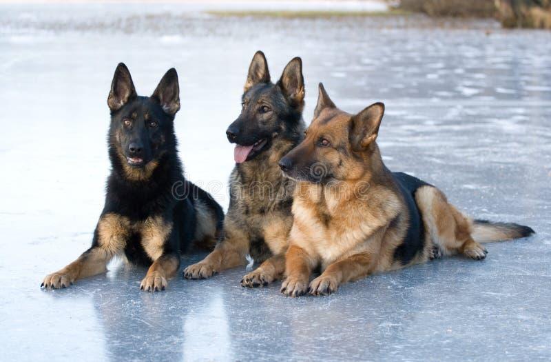Drei Schäferhunde stockbilder