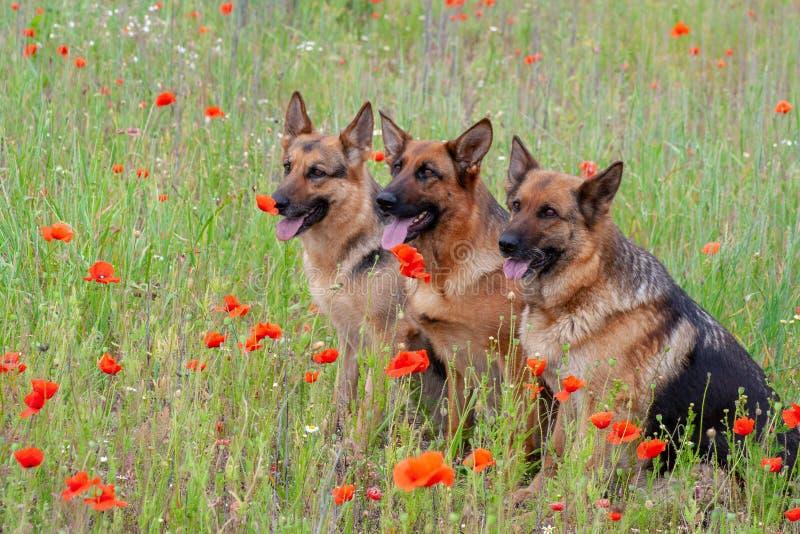 Drei Schäferhunde stockfotografie