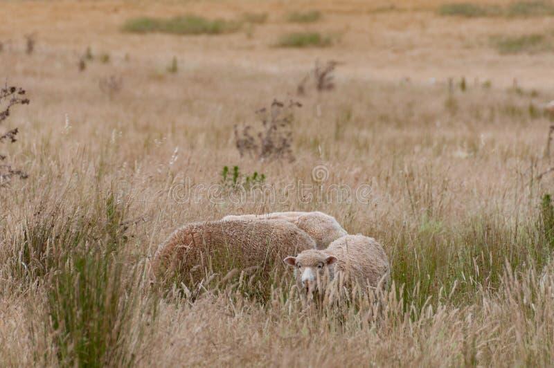 Drei Schafe mit starkem Vlies weiden lassend auf einer Koppel stockfotografie