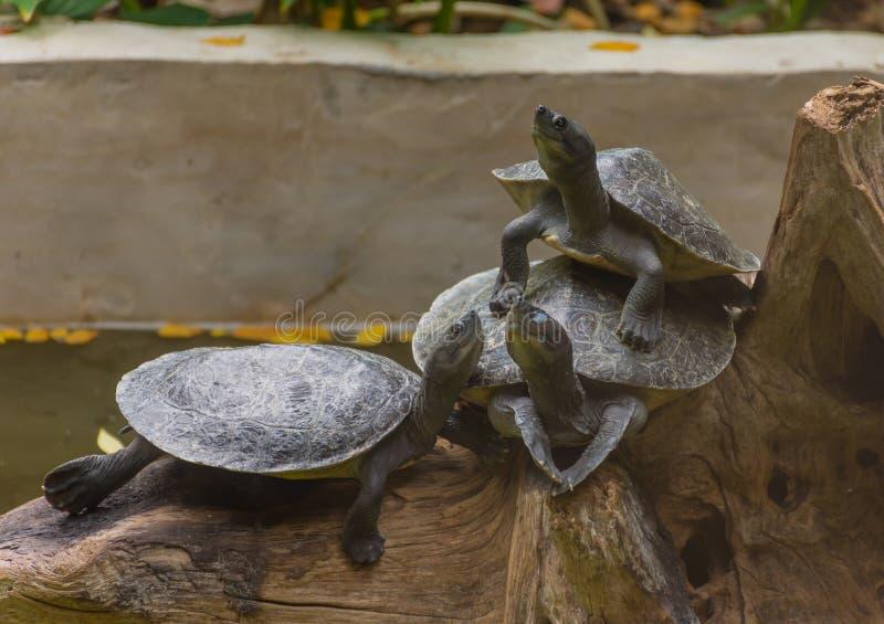 Drei Schildkröten auf Bauholz lizenzfreie stockbilder