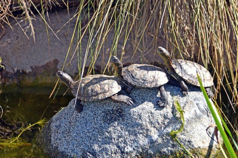 Drei Schildkröten auf dem Stein stockfoto