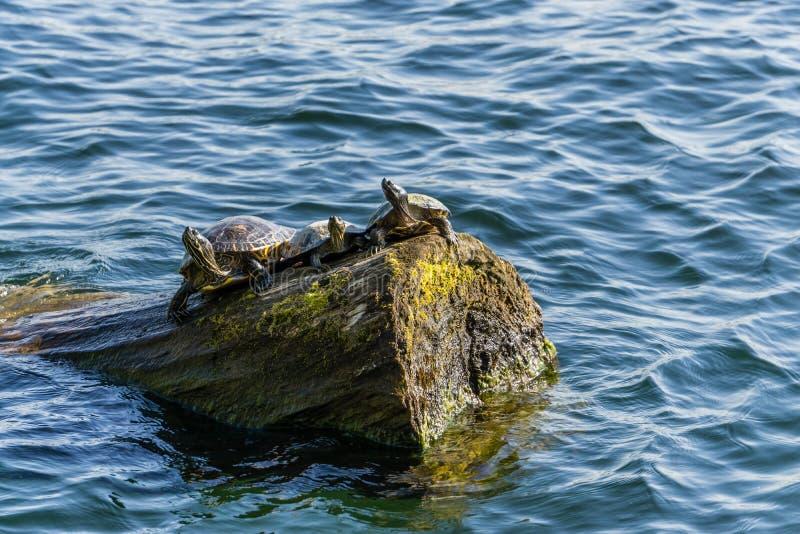 Drei Schildkröten auf Klotz 2 lizenzfreies stockbild