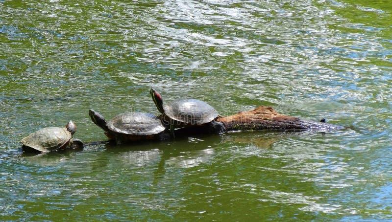 Drei Schildkröten, die auf einem Logon das Wasser sitzen stockfotografie