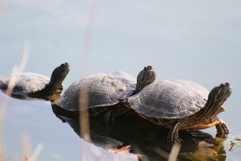 Drei Schildkröten, die I 2019 sonnen stockfotos