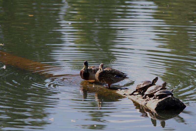 Drei Schildkröten und zwei Enten auf einem Klotz stockfotografie