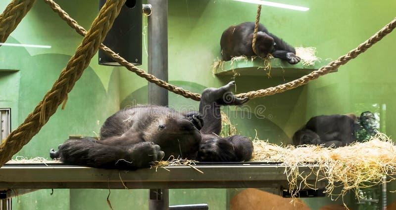 Drei Schlafenwesttieflandgorillas stockfotografie
