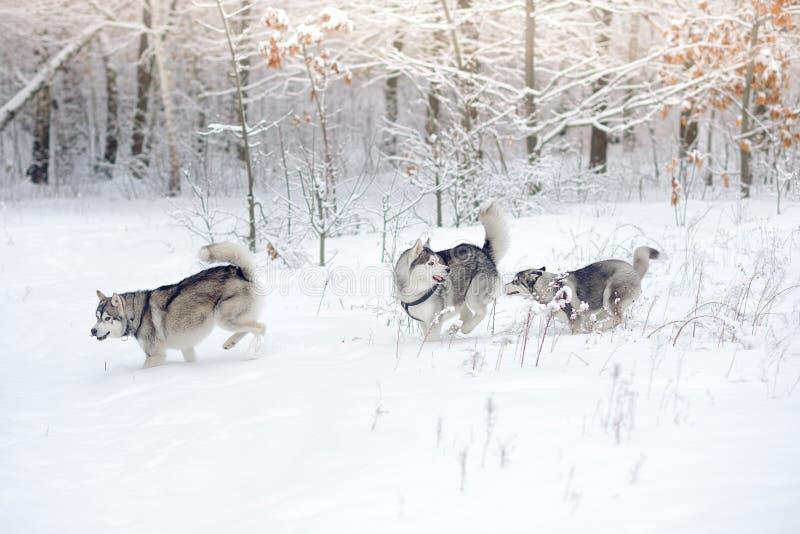 Drei Schlittenhunde spielen im Schneeholz stockfotos