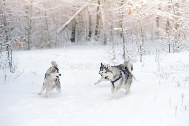 Drei Schlittenhunde spielen im Schneeholz Schöner Winterwald stockfotos