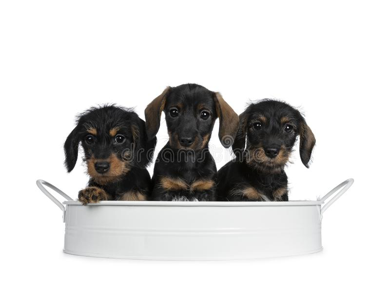 Drei schwarz mit braunes entzückendes wirehair den Minidachshund-Hundewelpen, lokalisiert auf weißem Hintergrund lizenzfreies stockbild