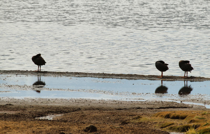 Drei schwarze Enten, die im See Chungara sich putzen lizenzfreie stockbilder