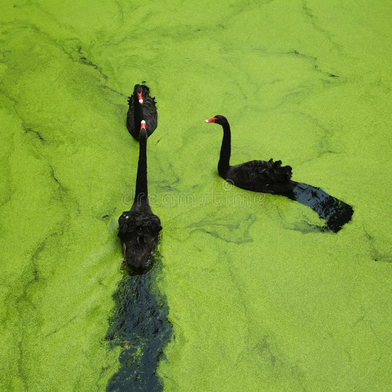 Drei schwarze Schwäne im grünen See stockbilder