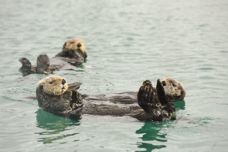 Drei Seeotter, die in der Bucht sich entspannen stockfoto