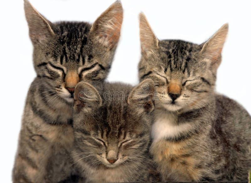 Drei sitzende Schlafenkatzen stockbild