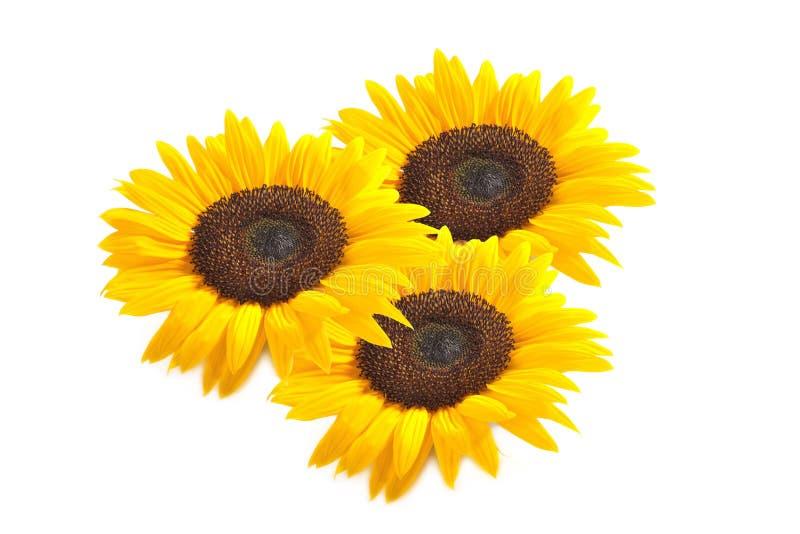Drei Sonnenblumen stockbild