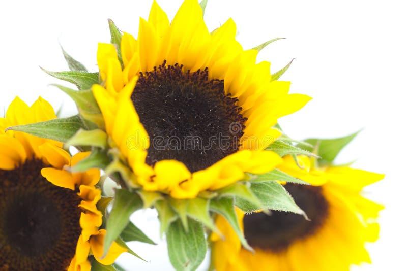 Drei Sonnenblumen lokalisiert auf Weiß stockbild