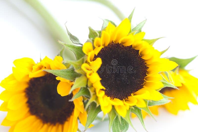 Drei Sonnenblumen lokalisiert auf Weiß stockfotografie