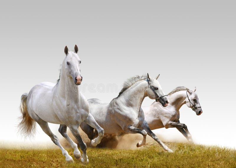 Drei Stallions lizenzfreie stockfotos