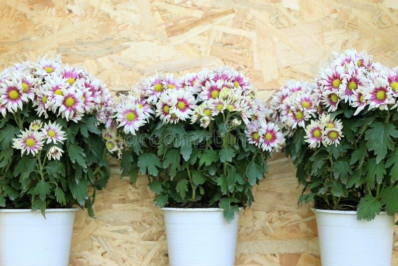 Drei Töpfe der weißen Chrysantheme blüht Anordnung auf hölzernem Hintergrund stockbilder