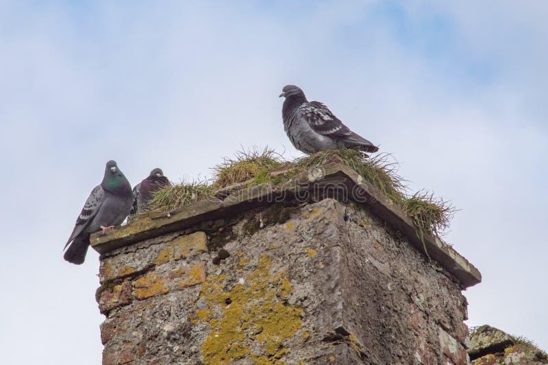 Drei Tauben auf dem Kamin einer Ruine lizenzfreie stockbilder