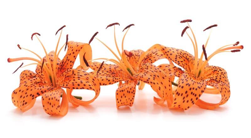 Drei Tigerlilien lizenzfreies stockbild