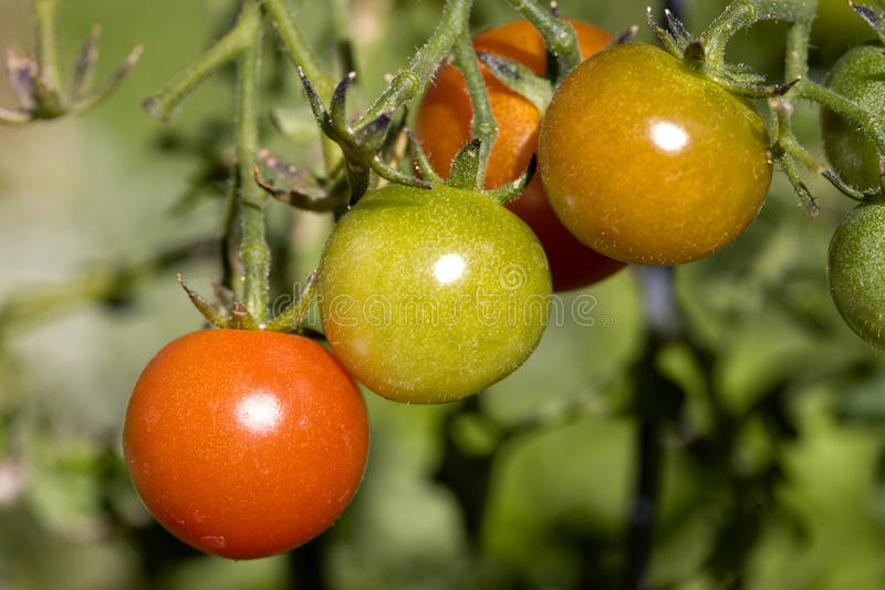 Drei Tomaten auf einer Rebe. lizenzfreie stockfotografie