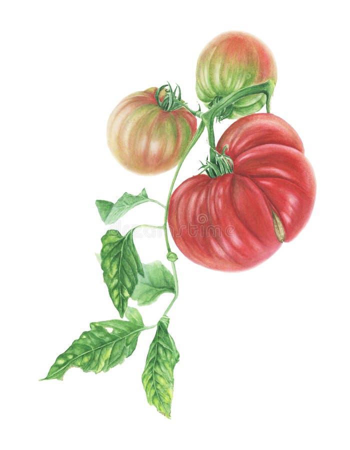 Drei Tomaten und Blätter, Aquarellmalerei lizenzfreie abbildung
