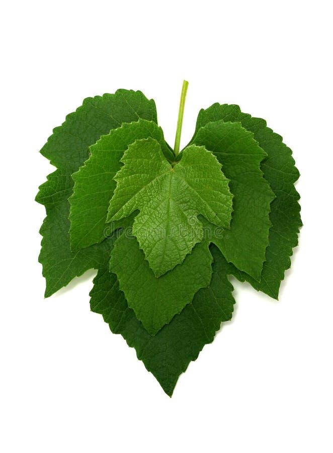 Drei Trauben-Blätter stockbild