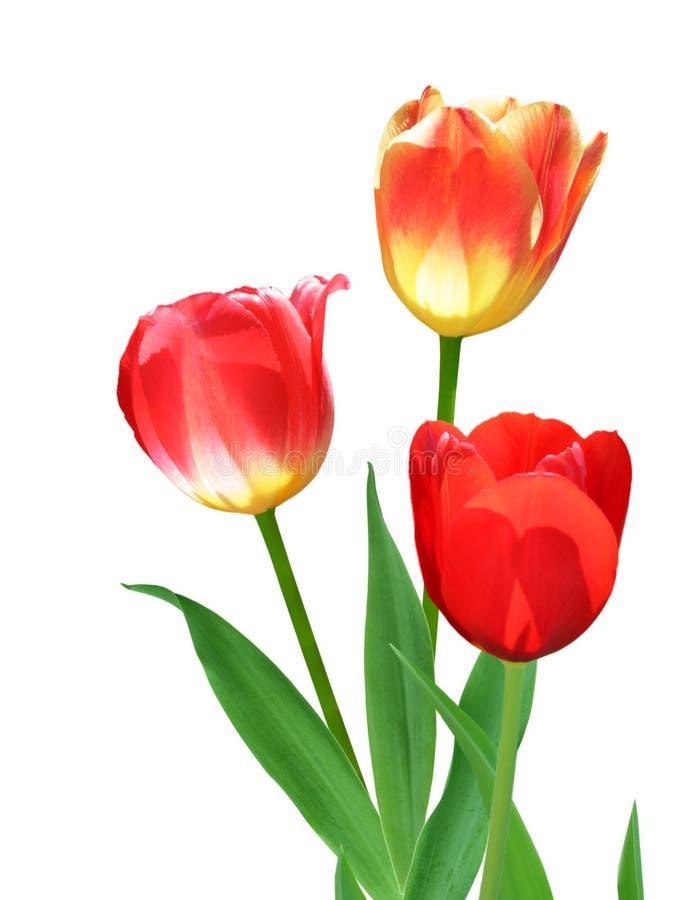 Drei Tulpen lizenzfreie stockbilder