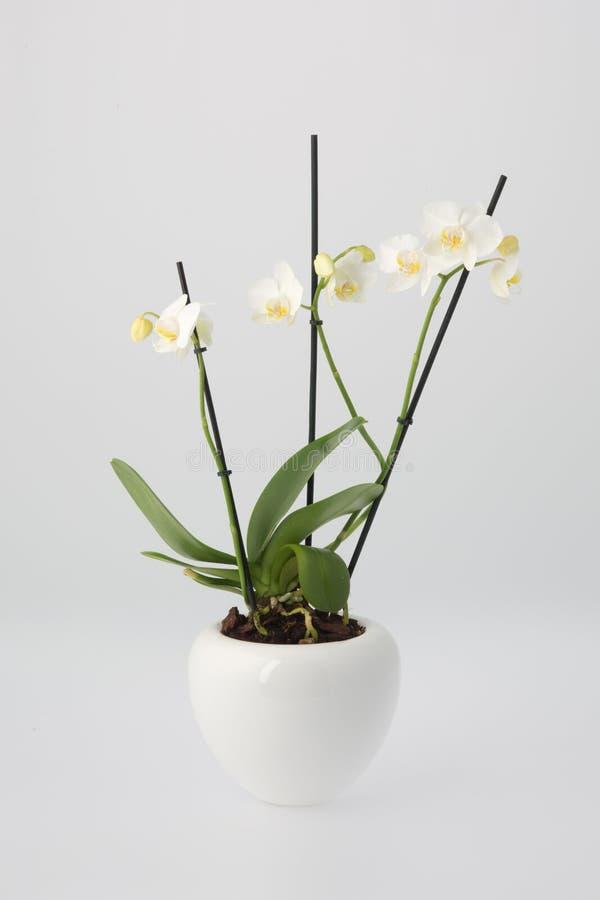 Weiße Orchidee Im Weiße Blumen-Topf Stockfoto - Bild von weiß, blume ...