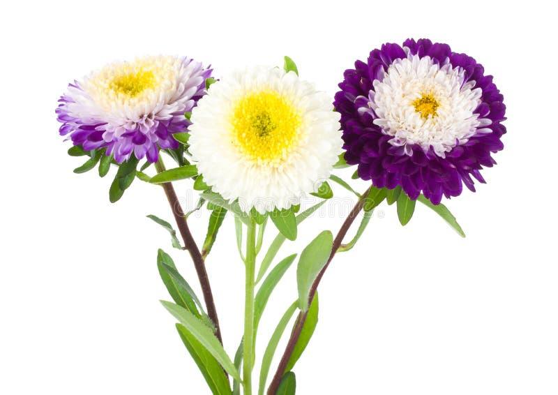 Drei violett-weiße Astern lizenzfreie stockfotos