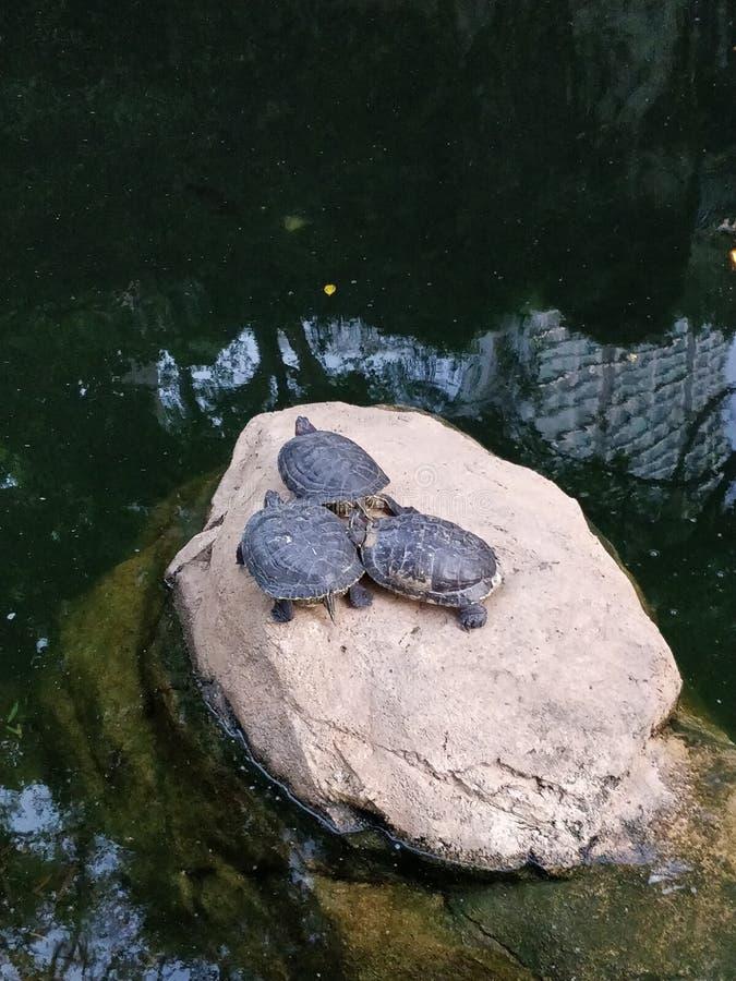 Drei Wasserschildkröten auf einem Felsen in einem Teich lizenzfreie stockfotos