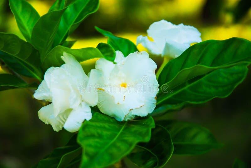 Drei weiße Blumen lizenzfreies stockfoto