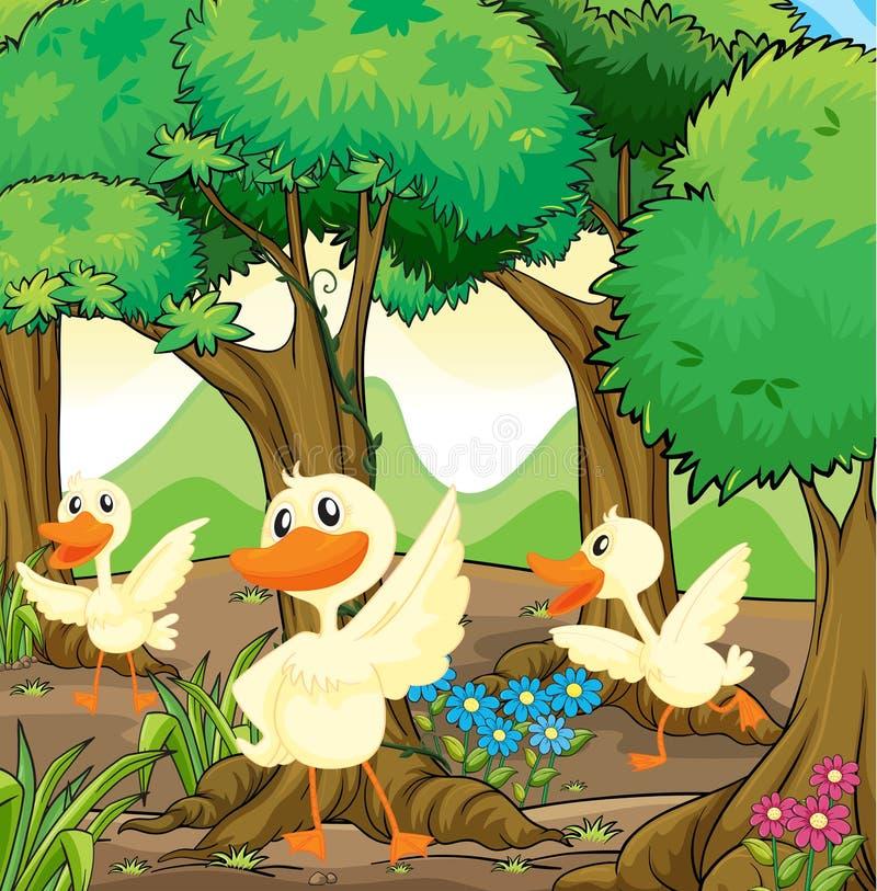 Drei weiße Enten mitten in dem Holz stock abbildung