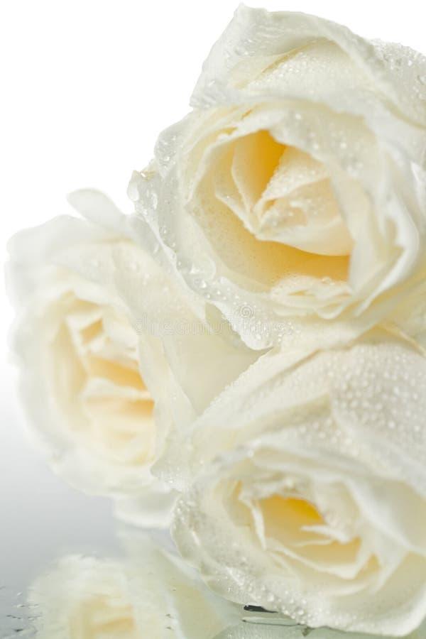 Drei weiße Rosen mit Wassertropfen lizenzfreies stockbild