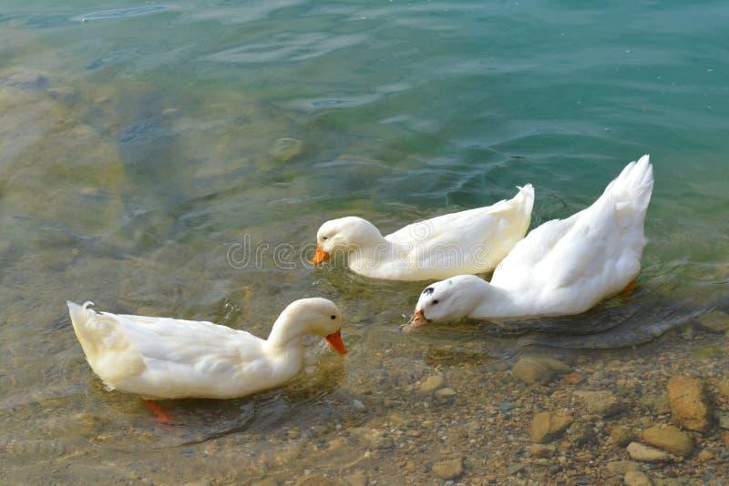 Drei weiße schwimmende Enten stockbild