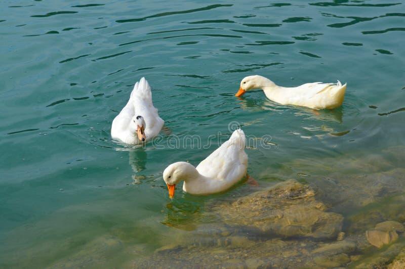 Drei weiße schwimmende Enten stockfoto