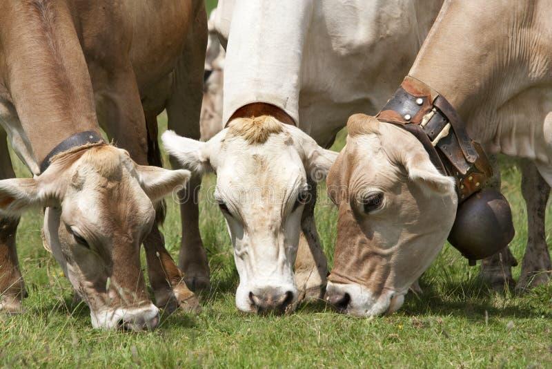 Drei weiden lassende brauner Schweizer cattles lizenzfreie stockfotos