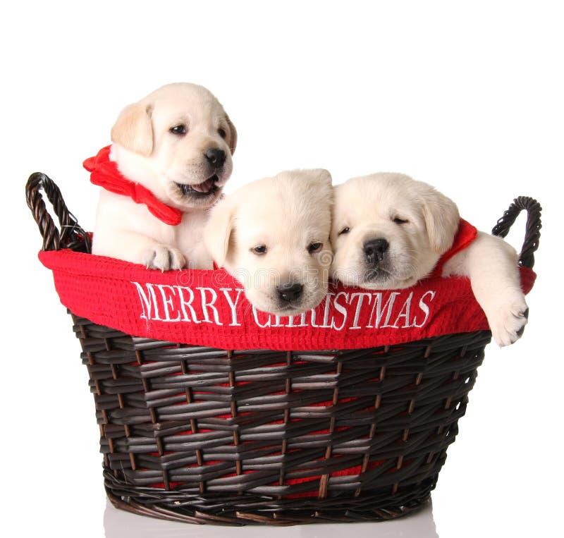 Drei Weihnachtswelpen stockbild