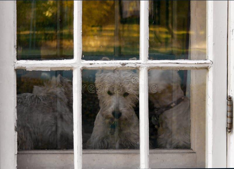 Drei Westie-Hunde, die heraus Türfenster mit abgebrochener Farbe anstarren stockfotografie