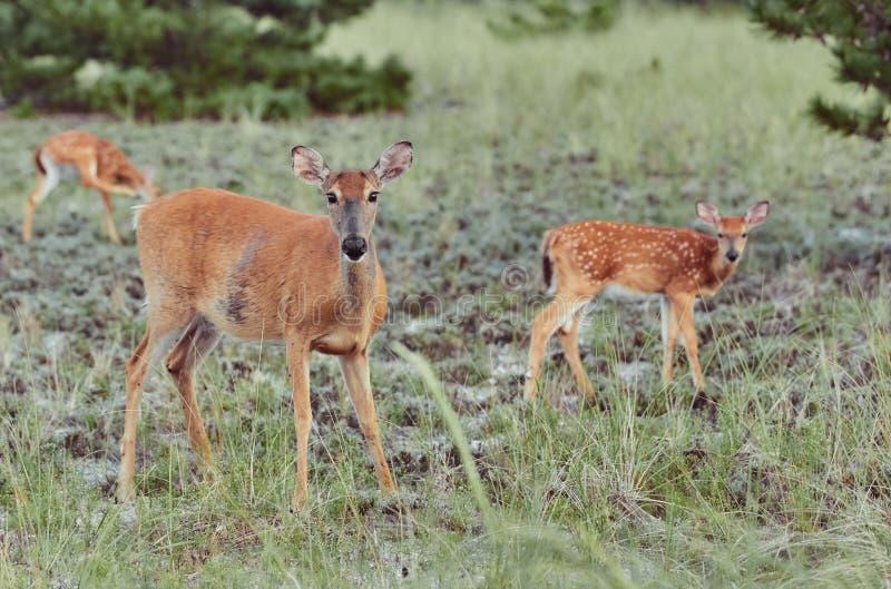 DREI Wilde Hirsche im Freien, die Gras fressen, furchtlos schön und süß stockbild