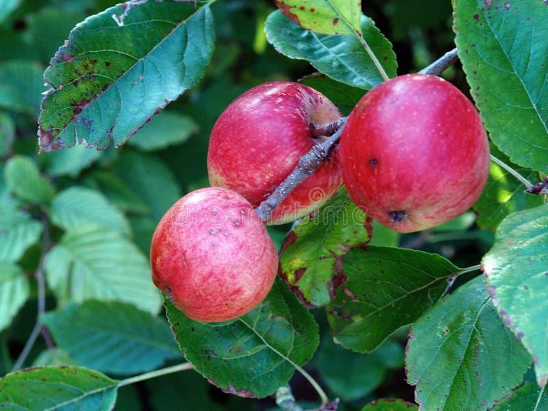 Drei wilde, reife rote Äpfel auf Ast lizenzfreie stockfotos