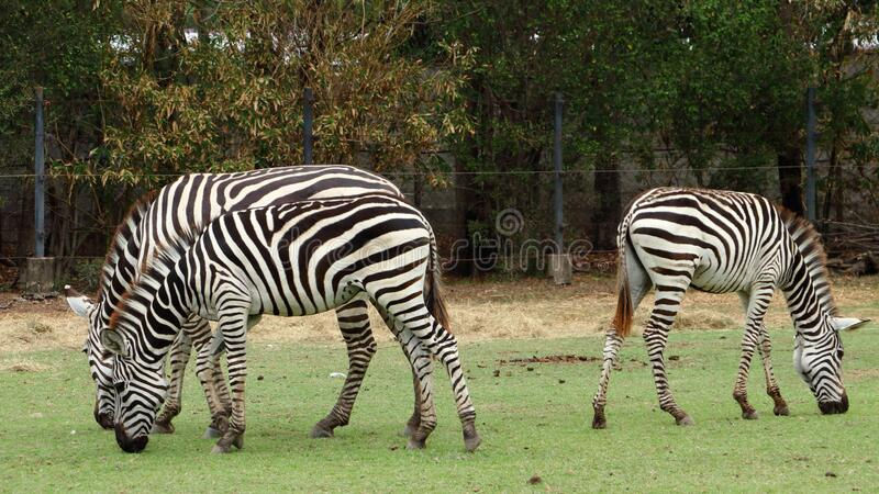 Drei Zebras fressen Gras im Wald lizenzfreie stockfotos