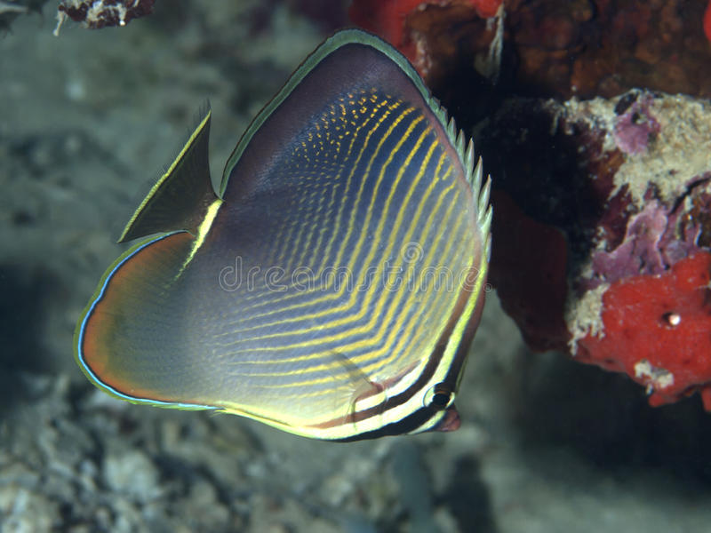 Dreieck Butterflyfish lizenzfreies stockbild
