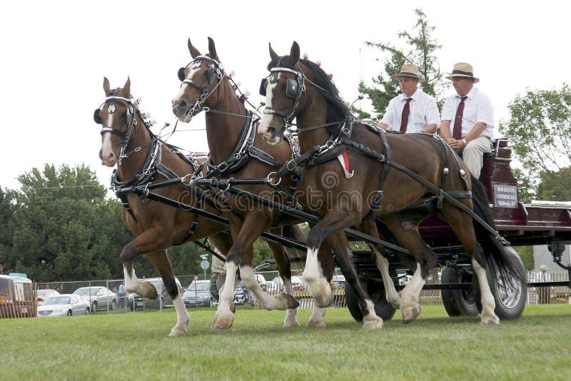 Dreifache Anhängevorrichtungs-Entwurfs-Pferde an der landwirtschaftlichen Messe stockfoto