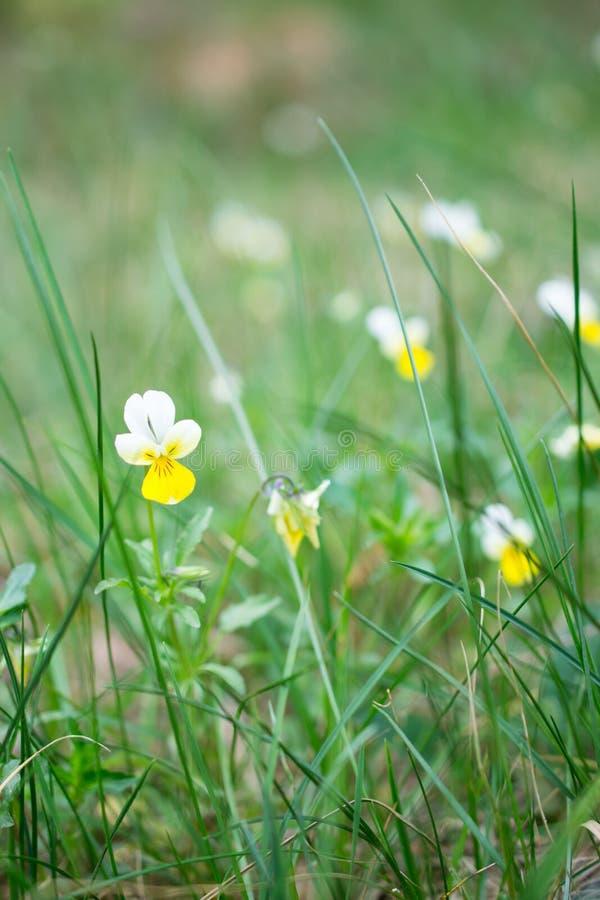 Dreifarbige Blumen der kleinen wilden Viola auf einem Gebiet auf einem schönen Hintergrund lizenzfreies stockbild