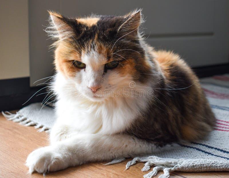 Dreifarbige Katze, die auf einer Wolldecke auf dem Boden sich entspannt lizenzfreies stockbild