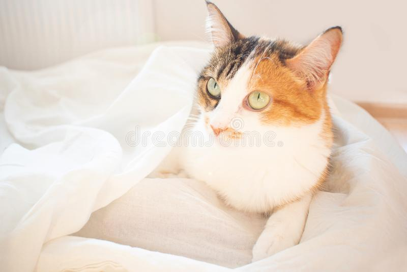 dreifarbige Katze liegt auf Bett Das flaumige Haustier bequem vereinbart, um zu schlafen oder zu spielen Netter gem?tlicher Hinte lizenzfreie stockfotos